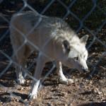 White Wolf waiting