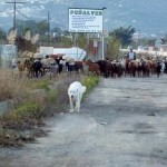 Motril Spain - Goats traveling alongside the main road