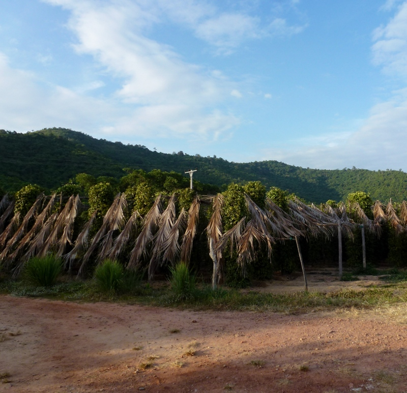 Sothy's Pepper Farm Kep Cambodia - tall trees